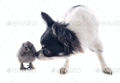 young chick and chihuahua