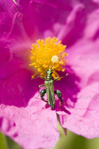 Green insect coleopteron