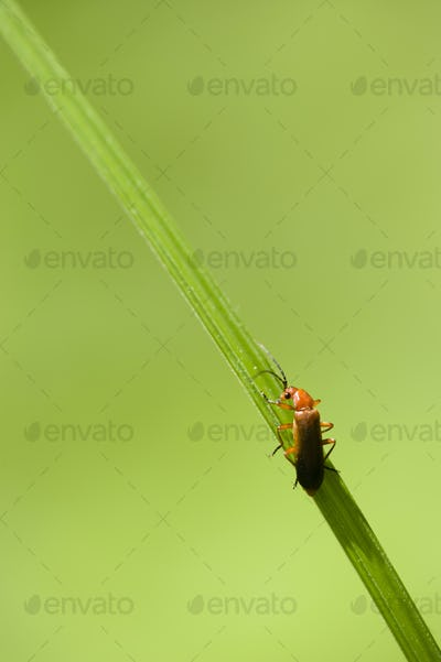 Orange and black insect coleopteron