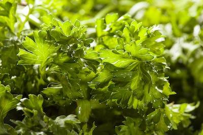 Fresh Organic Green Parsley