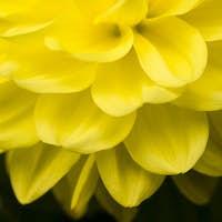 Dahlia yellow flower