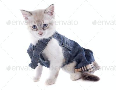 dressed birman kitten