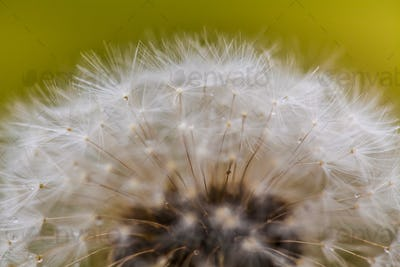 Flowering of dandelion