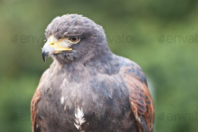 CLoseup of Bird of Prey
