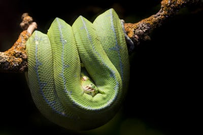 Green Piton Snake on a Branch