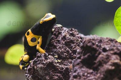 Poisnous Dart Frog Tropical Dendrobates