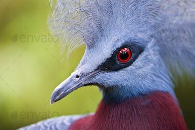 Victoria Crowned Pigeon, Goura victoria