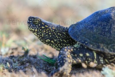 European bog turtle (emys orbicularis)