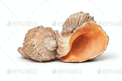 Seashells Isolated Over White Background