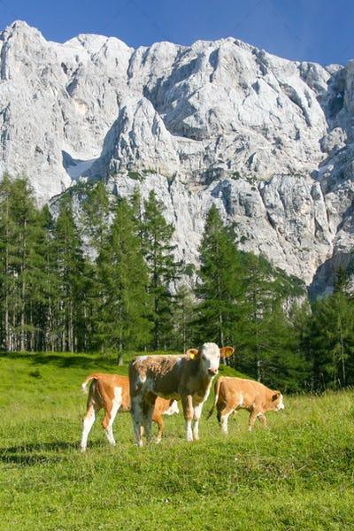 Cows in the Slovenian Alps