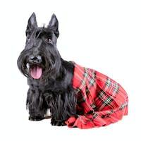 Highlander dog