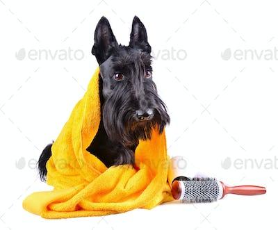 Dog after bath