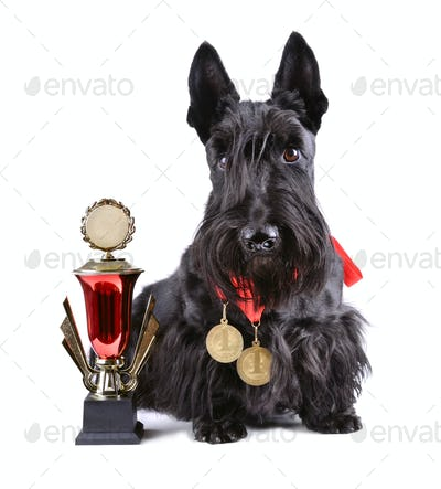 Champion dog with gold gup
