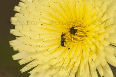 Dandelion with Insects