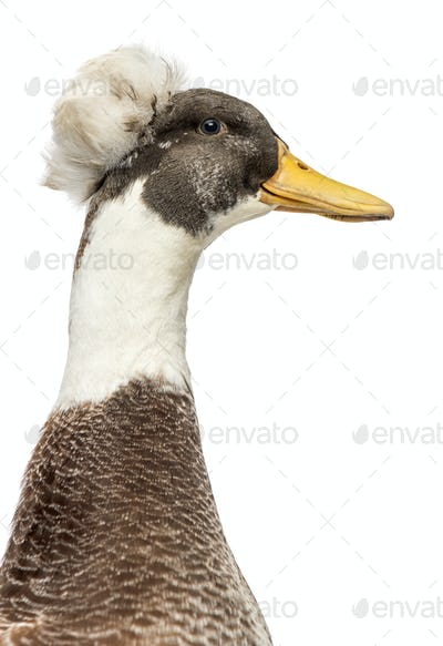 Male Crested Ducks, lophonetta specularioides, isolated on white