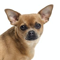 Close up of a Chihuahua looking at the camera, isolated on white