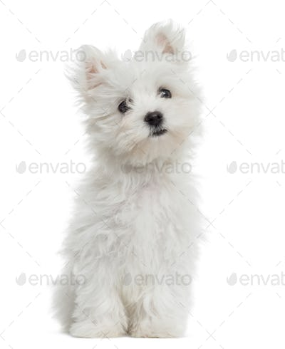 Maltese puppy sitting, looking at the camera, 2 months old, isolated on white