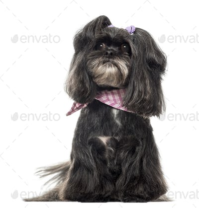 Lhassa apso sitting, isolated on white