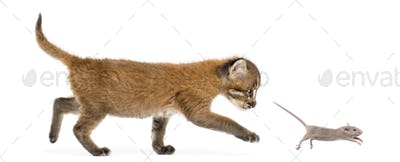 Side view of an Asian golden cat chasing a young mouse, isolated on white