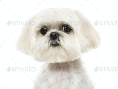 Close up of a Shih Tzu looking at the camera, isolated on white