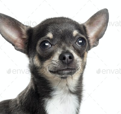 Close up of a Chihuahua, isolated on white