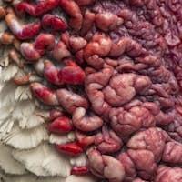 Macro of a Turkey's skin, Meleagris gallopavo