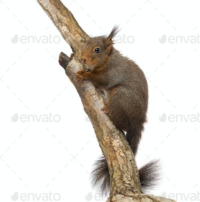 Red squirrel or Eurasian red squirrel, Sciurus vulgaris, climbing on a branch, isolated on white