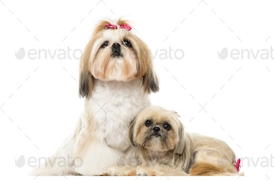 Two Shih Tzu sitting and lying next to each other, isolated on white