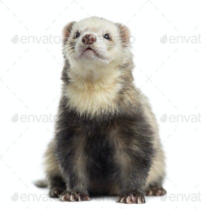Ferret, sitting, isolated on white