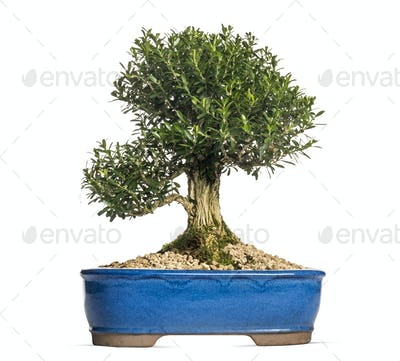 Buxus bonsai tree, isolated on white