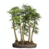 Golden larch, bonsai tree, pseudolarix amabilis, isolated on white