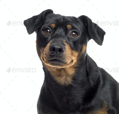 Close up of a Pinscher and Jagterrier crossbreed, isolated on white