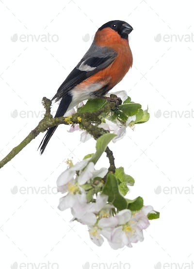 Bullfinch perched on a blossoming branch, isolated on white