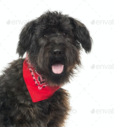 Close up of a Bouvier des Flandres, panting, with read bandana , isolated on white