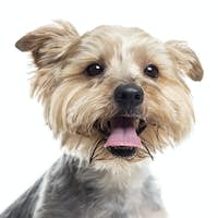 Close up of a Yorkshire Terrier panting, isolated on white
