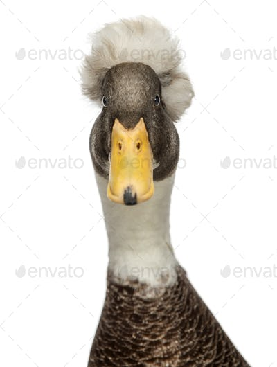 Close-up of a Male Crested Ducks, lophonetta specularioides, looking at camera, isolated on white