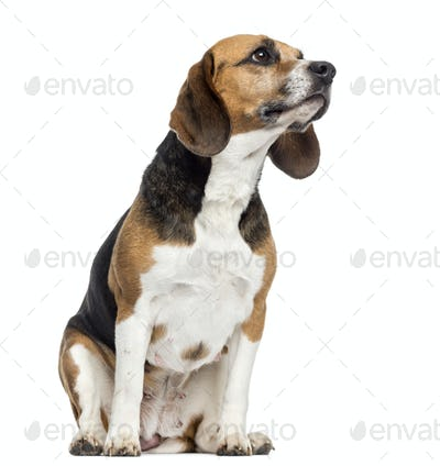 Beagle sitting, looking away, isolated on white