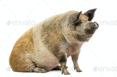 Domestic pig sitting and looking away, isolated on white