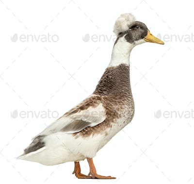 Male Crested Ducks, lophonetta specularioides, standing, isolated on white