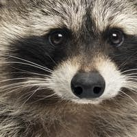 Close-up of a racoon, Procyon Iotor, isolated on white
