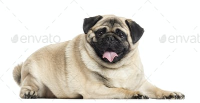Pug lying and panting, isolated on white