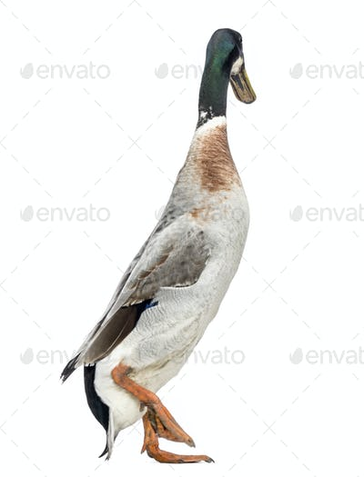 Male Indian Runner Duck, Anas platyrhynchos domesticus, walking away, isolated on white