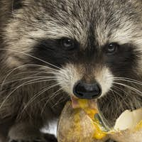 Close-up of a Racoon, Procyon Iotor, eating an egg