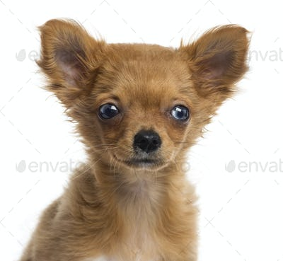 Close up of a Chihuahua puppy, 4 months, isolated on white