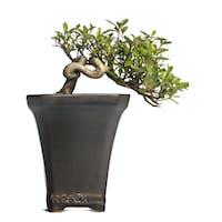 Azalea bonsai tree, Rhododendron, isolated on white