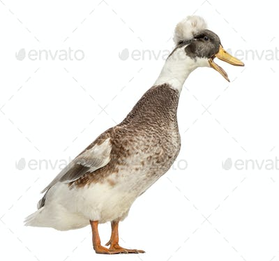 Male Crested Ducks, lophonetta specularioides, standing and quacking, isolated on white