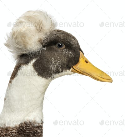 Close up of a Male Crested Ducks, lophonetta specularioides, isolated on white