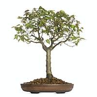 Zelkova Serrata, bonsai tree, isolated on white