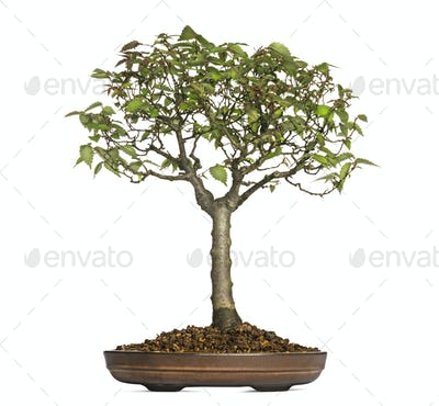 Zelkova Serrata, bonsai tree, isolated on white