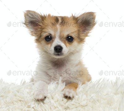 Close up of a Chihuahua puppy looking at the camera, isolated on white